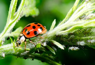 Using Ladybugs for Aphids | Planet Natural