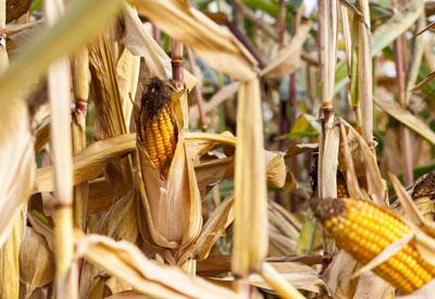 Corn and Genetic Engineering