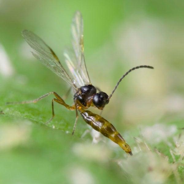 Aphid Parasite (Aphidius colemani)