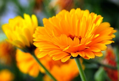 How To Grow Calendula Organically Planet Natural