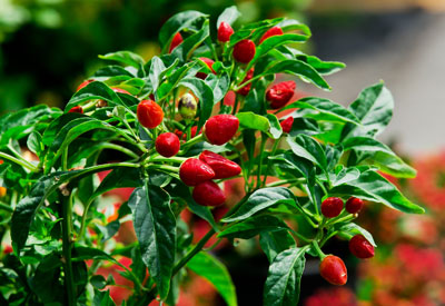 Potted Pepper Plant