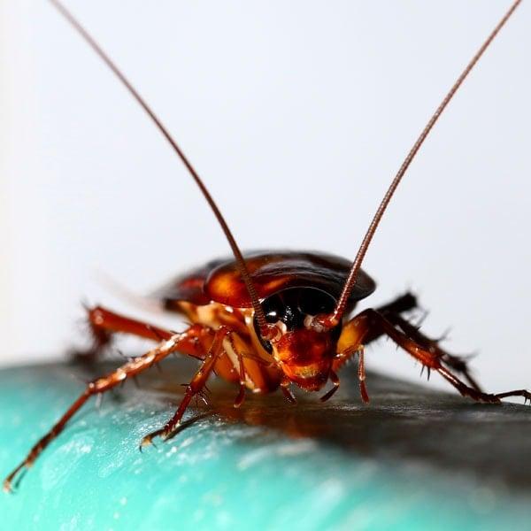 Cockroach Problem