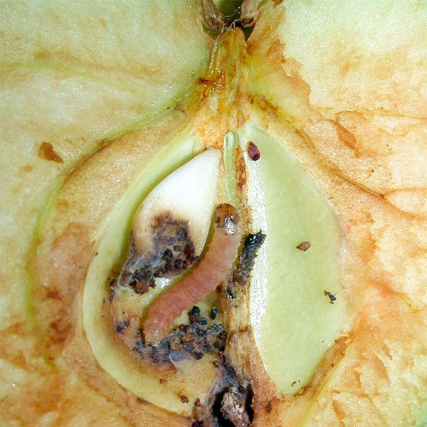 How To Control Codling Moth Organically Planet Natural