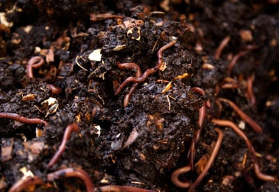 Benefits Of Worms In The Vegetable Garden Planet Natural