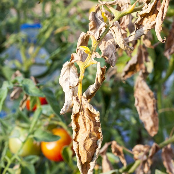 Fusarium Wilt Symptoms Treatment And Control Planet
