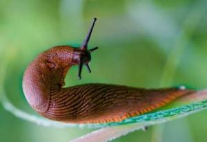 garden-slug