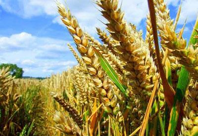 GMO Harvest