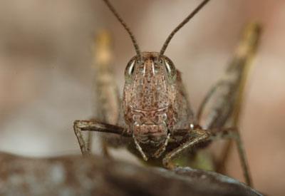 Western Grasshopper