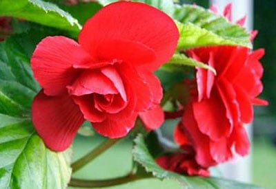 How To Grow Begonias Organically Planet Natural