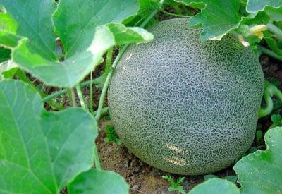 Garden Melon
