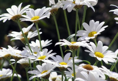 How To Grow Daisies Organically Planet Natural