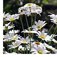 growing-shasta-daisy