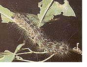gypsy-moth-control