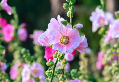How to grow hollyhocks organically planet natural home flower gardeners enjoy growing hollyhocks in borders or against walls and fences where their spectacular flowers stand tall above all else mightylinksfo