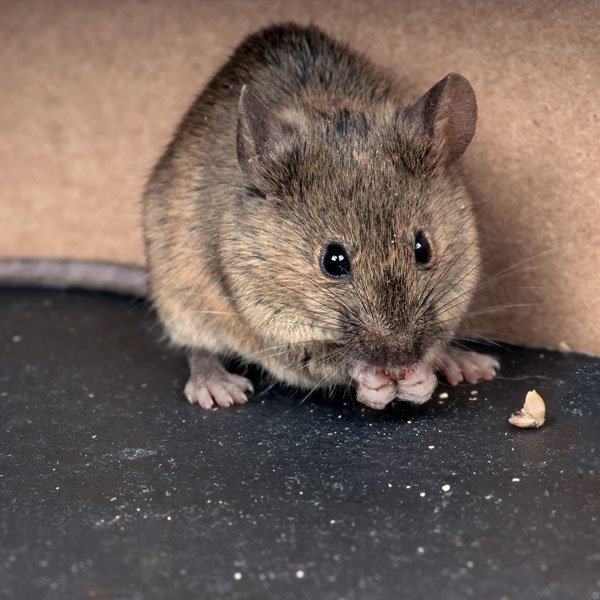 How to Get Rid of Mice | Planet Natural