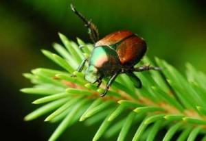 japanese-beetle