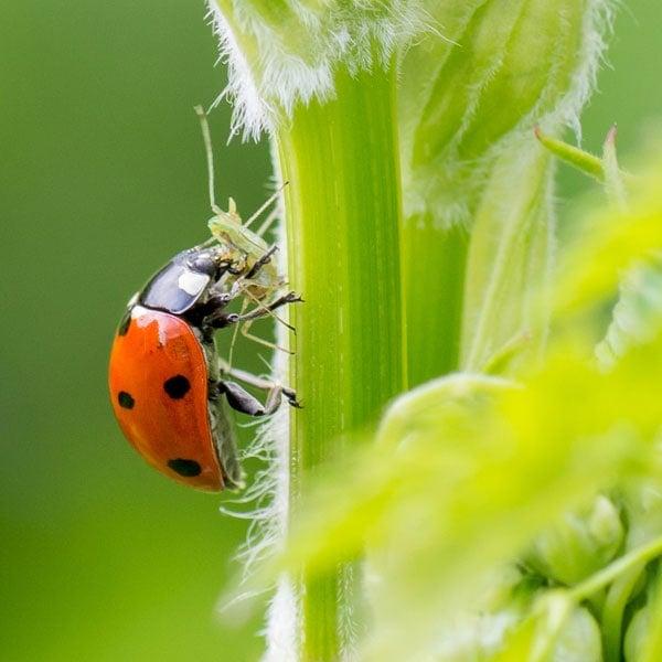 Ladybug & Aphid