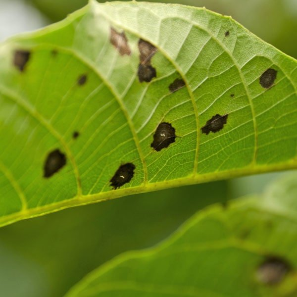 Plum Tree Diseases Pictures Uk