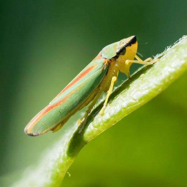 How to Get Rid of Leafhoppers | Planet Natural
