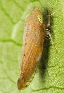 leafhopper-control