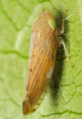 Leafhopper Control