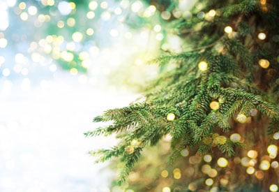 How To Care For A Living Christmas Tree Planet Natural