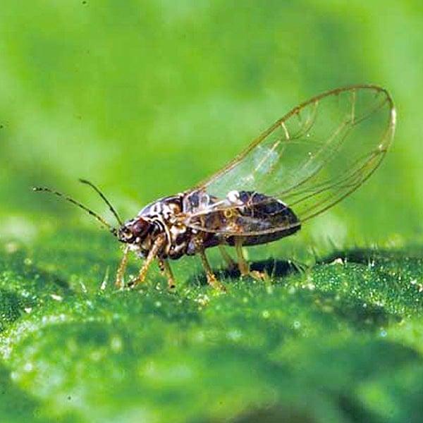 Psyllid (Plant Lice)