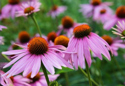 How to Grow Echinacea (Purple Coneflower) | Planet Natural