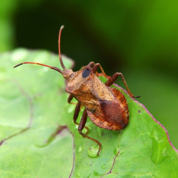 How to Get Rid of Squash Bugs | Planet Natural