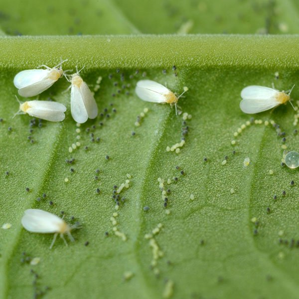 Greenhouse Whiteflies