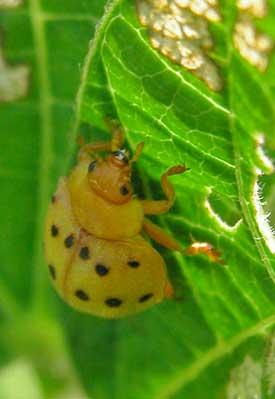 Bean Beetle Control