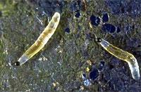 Fungus Gnat Larvae