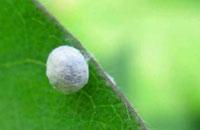 Lacewing Pupa