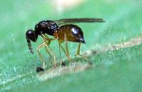 Leaf Miner Parasitization