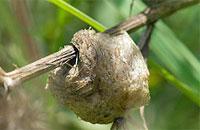 Mantis Egg Case