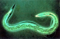 Beneficial Nematode