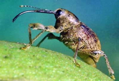 Pecan Weevil Control