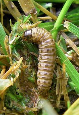 Sod Webworm Control