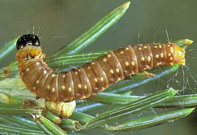 Spruce Budworm Control