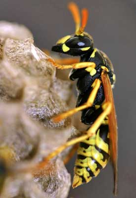 Yellow Jacket Control
