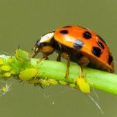 adult-ladybug