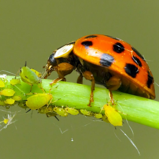 Buy Ladybugs Online Free 2 Day Shipping Planet Natural