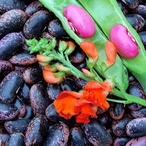 scarlet runner bean seeds  planet natural