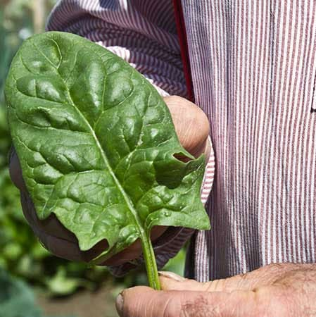 Spinach, Bloomsdale Long Standing