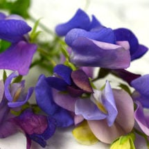 Blue Reflections Sweet Pea