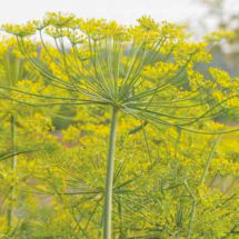 Dill Herb, Bouquet