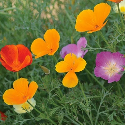 Poppy, California Mixture