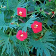 Cardinal Climber Flower