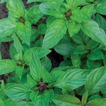 Basil, Cinnamon