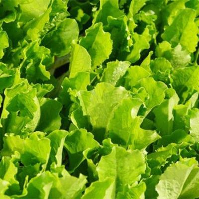 Lettuce, Crisp Mint